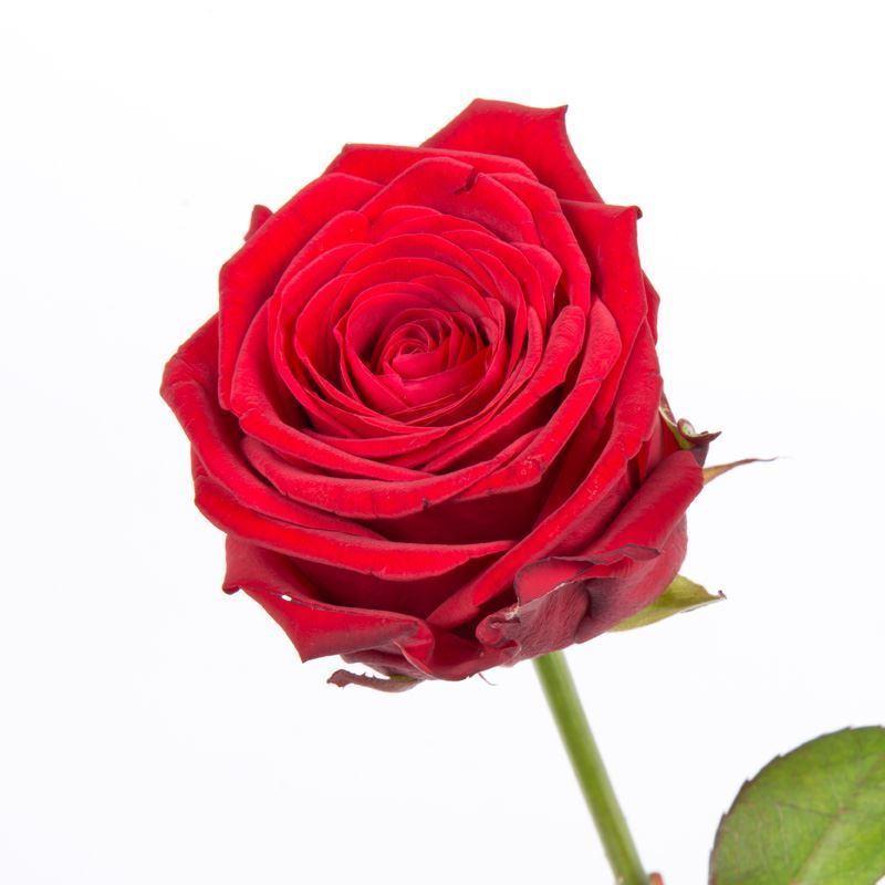 Rode Valentijnroos