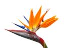 Strelizia bloem