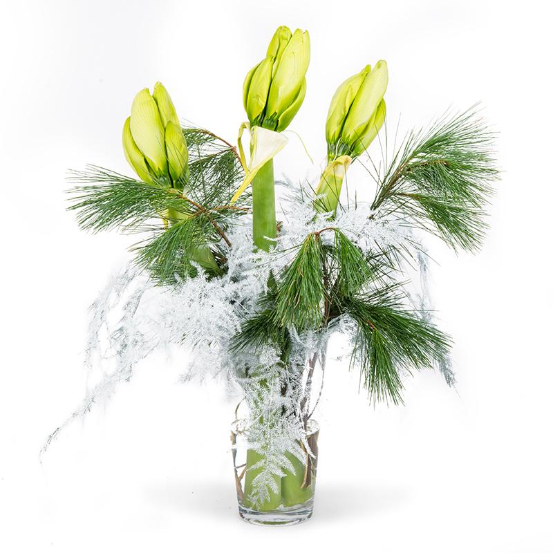 Amaryllis snowwhite