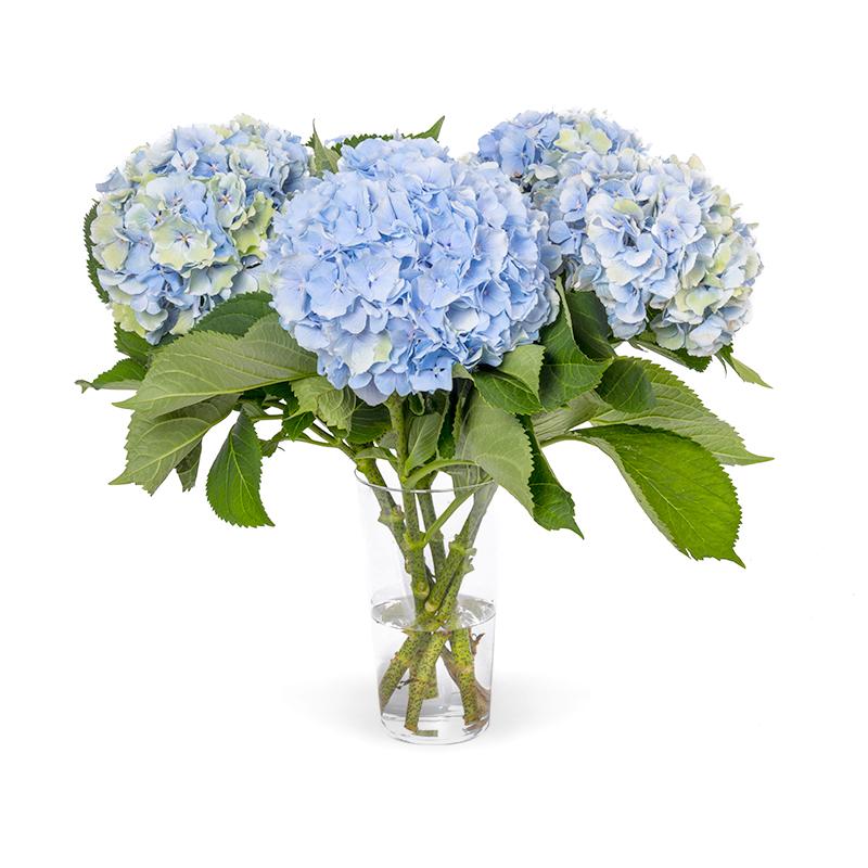 Hortensia Verena Blauw Fresh